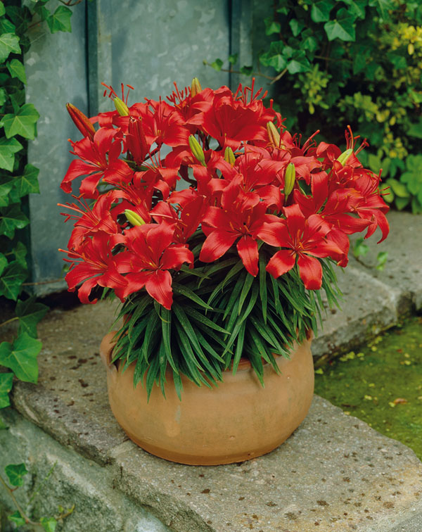 Pot Lily Red Carpet