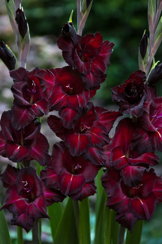 Gladiolus Black Surprise