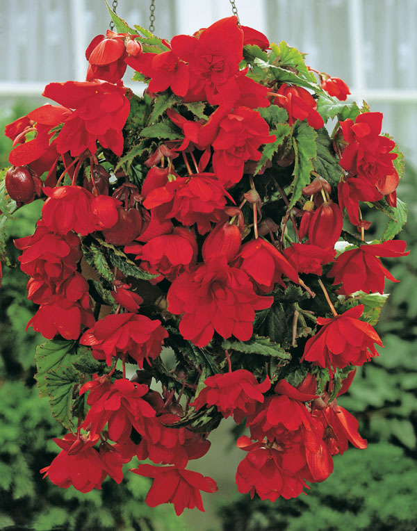 Begonia Red Pendula