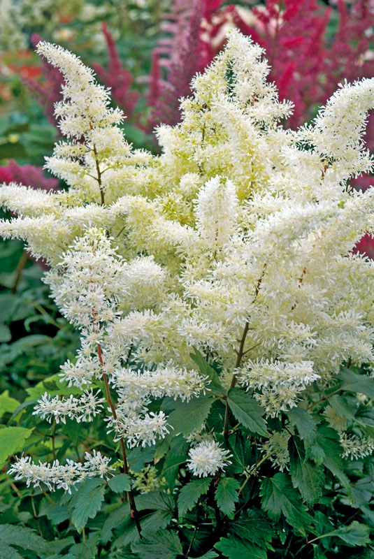 Astilbe Rock N Roll
