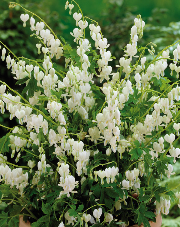 Dicentra Bleeding Heart White