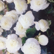 Begonia Non Stop New White