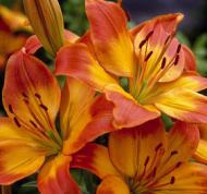 Asiatic lily Cancun