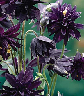 Columbine Black Barlow