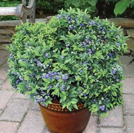 Top Hat Patio Blueberry