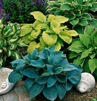 Hosta Mixed